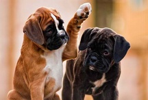 Boxador / Boxer x Labrador