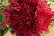 Bloom/Dahlia