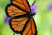 <3 Farfalle Monarca