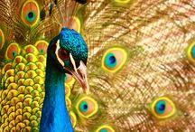 Peacock paintings