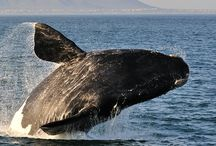 HERMANUS WHALE WATCHING TRIP / One of the coolest adventure in Cape Town ! The incredible experience and most renowned Whale Watching Trip at $57.82 ! For more info visit us on http://bit.ly/1KM5bwu