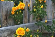 Rustic fence and yellow roses