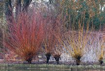 Stems and bark / In the winter when there are not many flowers blooming, stems and bark can provide a lot colour.