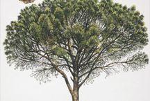 Pinus Pinea - Fıstık Çamı