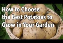 How To Grow Potatoes / All things potato, how to grow them and how to enjoy them.