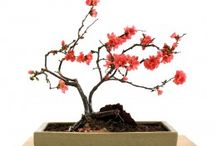 Bonsai / Anything about bonsai trees