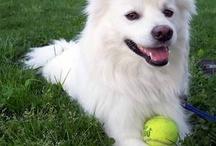 American Eskies - my favorite doggies!