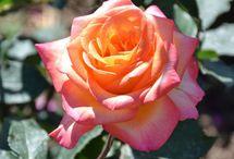 Les rosiers Générosa®