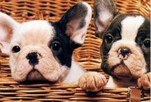 bulldogs ♥ / by Delfina Fiad