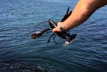 V notching a female lobster / If a female lobster is V notched she must by law be returned to the sea if caught. This gives the lobster population a chance to continue until the V notched hen has moulted the V notch out.