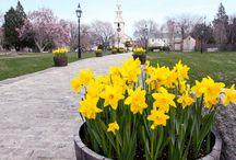 Newport RI Daffodils, Daffodillion, Daffodil Days