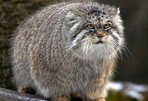 Gatos salvajes / Imágenes de gatos salvajes