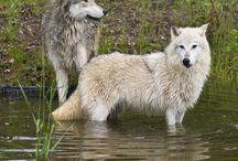 Wolf Wonderfulness