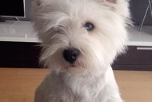 Westies / Westies just love them awaiting my new boy to the family