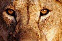 Leões / Extinção