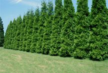 Screening Shrubs  / by Tulsa Landscape