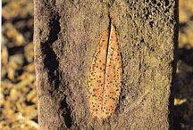 Φύλλα απολιθωμενα