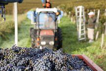 Vendanges 2014/ Harvest 2014