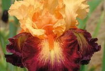 schreiners iris garden