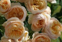 English roses / For the garden