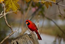 RED BIRD MEMORIES / My Mom lives in heaven now, but when she was alive, she and my Dad had a thing for redbirds.  Now, when we see one, we like to think it is a special message fromher to us!
