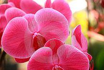 Orchid 4 Mia