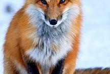Foxes FurFurFr:3