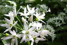 Plantes et fleurs sauvages commestibles