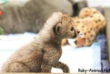Baby cheetah / Baby cheetah pictures