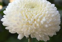 Types of Chrysanthmum