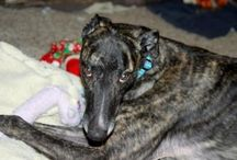 Retired racer greyhounds who have found forever homes / These 45 mph couch potatoes now have a home of their very own.