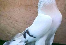 güvercin ❤ pigeon