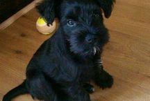 BLACK SCHNAUZER PUPPIES... Also grey or brown