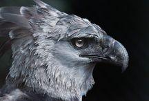 Fauna - птицы - Гарпия