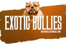 Exotic Bullies