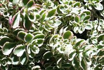 Parkway Plants & Groundcovers / These plants all grow 3' and under. For So Cal clients