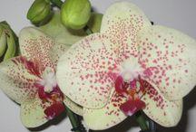 Phalaenopsis - Enrico Orchidee Albenga / Phalaenopsis by Enricoorchidee