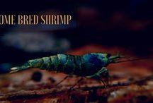 Aquarium Creation Shrimp