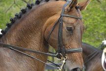 Le Oldenbourg / Tout a commencé au XVIème siècle avec des chevaux de type Frison qui étaient élevé dans la région d'Oldenbourg en Allemagne et qui ont reçu par la suite des apports de sang Espagnol, Oriental, Napolitain, Barbe, Pur Sang Anglais, Cleveland Bay et Hanovrien.