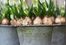Bulbs in pots