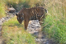 Courtesy by Anurag Sharma / by Ranthambore National Park