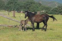 "Second Sheldon Foal 4/20/15 / Foal Born 4/20/15.  Welcome ""Liberty""!"