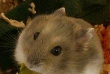 ハムスター♡My Hamsters / うちの子、ジャンガリアンハムスターのマハロ(♀)とあずき(♂)をご紹介します♡(*^^*) My hamsters, Mahalo and Azuki♡
