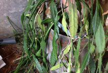 epiphyllum cactus orchidée