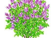 taille Lilas