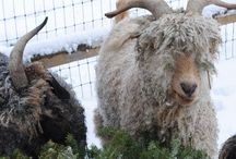 Sheep & Goats / Our Angora goats and CVM/Romeldale sheep