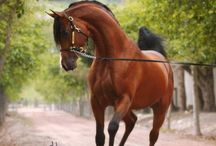 my arabian horses