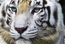Amazing wildlife - White Tiger photo #tige