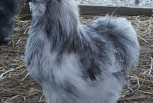 Silkie Colors / A rainbow of Silkie Chickens