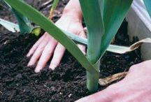 Growing Leeks / Tips and advice on growing leeks
